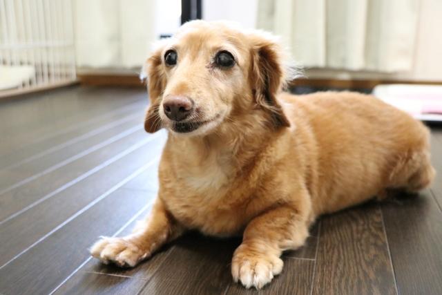 最近シニア犬のお預かりが増えました