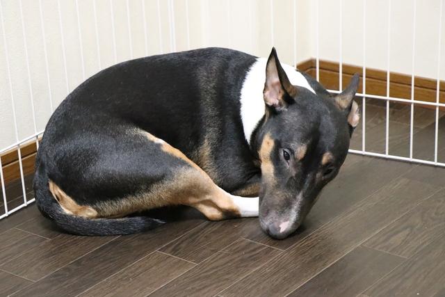 ミニチュア・ブルテリアのお預かりは初めての犬種です