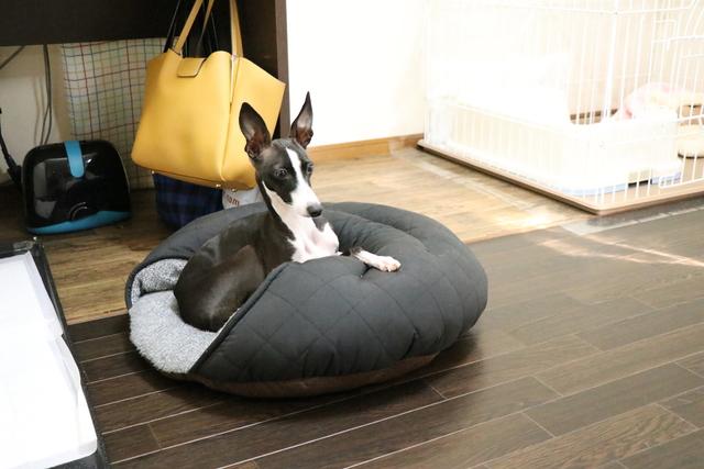 愛犬と同犬種イタグレのお預かりは大歓迎です