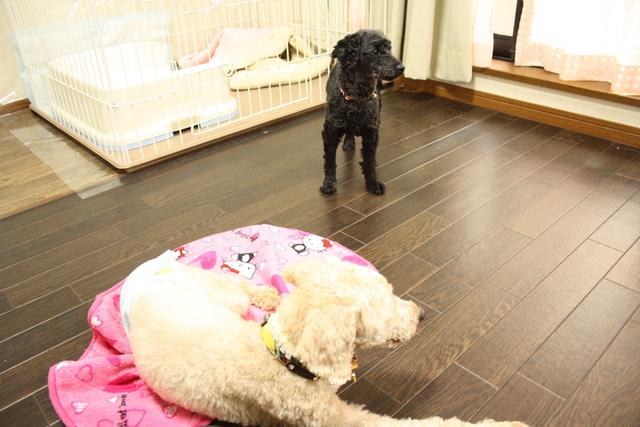 大阪市平野区のトイプー兄妹 多頭飼い割引あります