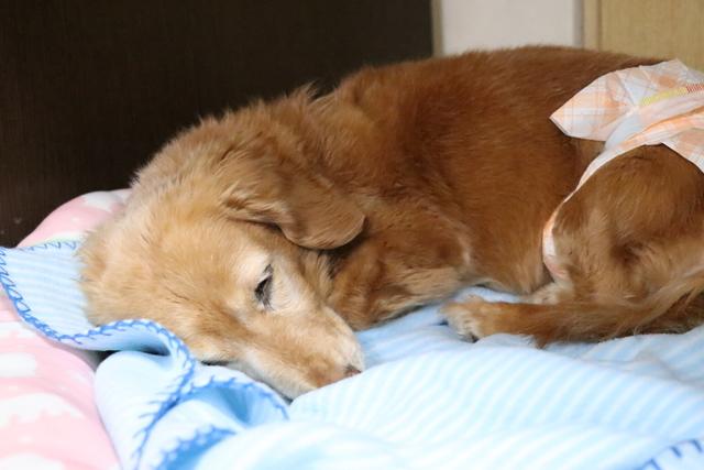 シニア犬の寝る時はオムツをする時もあります