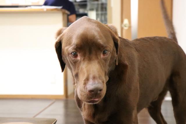 階段を上がり降りるできる大型犬はリビングでお預かりします