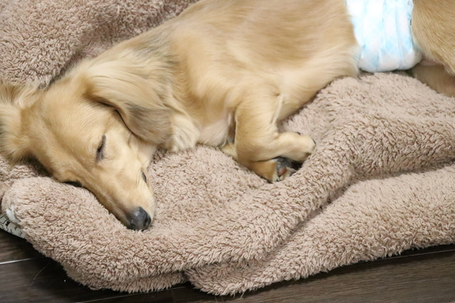 夜寝るときはマナーベルトをする場合があります