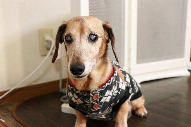 大阪府松原市周辺で白内障の犬を預かれるペットホテルです
