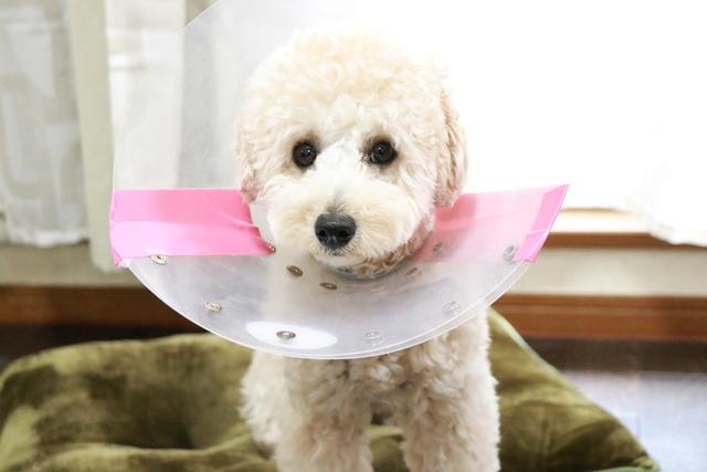 避妊手術後でエリザベスカラーをしています