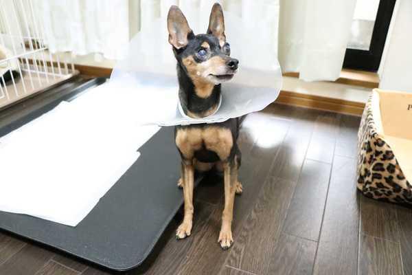 白内障の犬ちゃんのお預かりもご相談ください