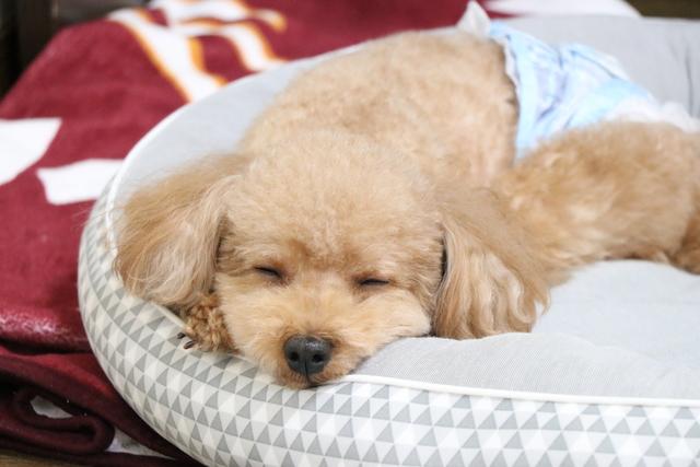 羽曳野市のトイプー分離不安の犬ちゃんです