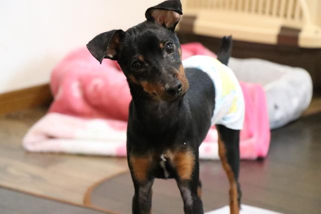 マーキングをする犬ちゃんはマナーベルトを付ける場合があります