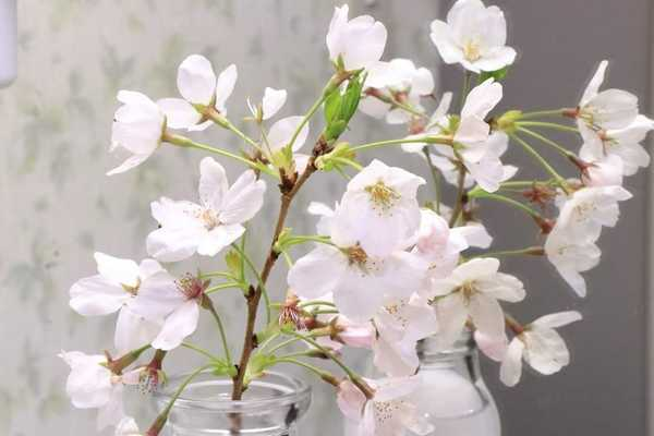 桜が元気を取り戻しました
