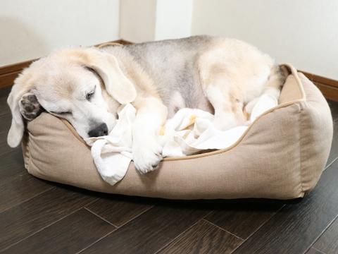 シニア犬は13歳までになっています