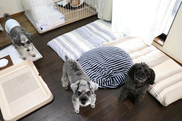 シュナウザー(中型犬)1日一家族が限界です